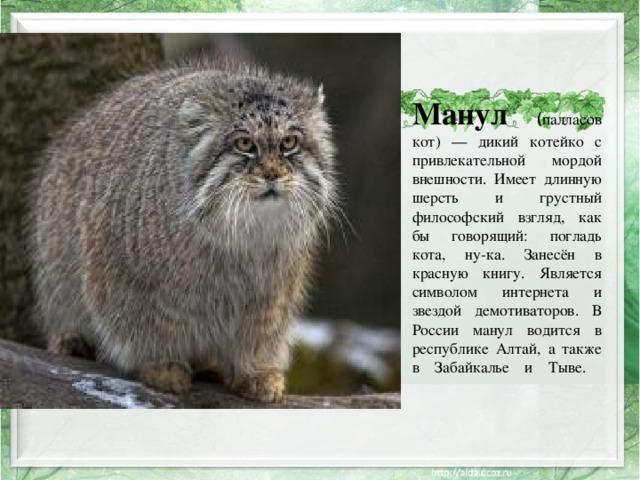 Манул  ( палласов кот) — дикий котейко с привлекательной мордой внешности. Имеет длинную шерсть и грустный философский взгляд, как бы говорящий: погладь кота, ну-ка. Занесён в красную книгу. Является символом интернета и звездой демотиваторов. В России манул водится в республике Алтай, а также в Забайкалье и Тыве.