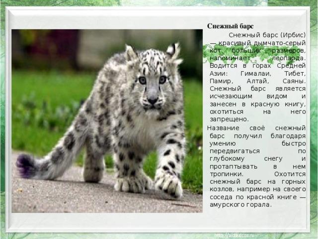 Снежный барс  Снежный барс (Ирбис) — красивый дымчато-серый кот больших размеров, напоминает леопарда. Водится в горах Средней Азии: Гималаи, Тибет, Памир, Алтай, Саяны. Снежный барс является исчезающим видом и занесен в красную книгу, охотиться на него запрещено. Название своё снежный барс получил благодаря умению быстро передвигаться по глубокому снегу и протаптывать в нем тропинки. Охотится снежный барс на горных козлов, например на своего соседа по красной книге — амурского горала .