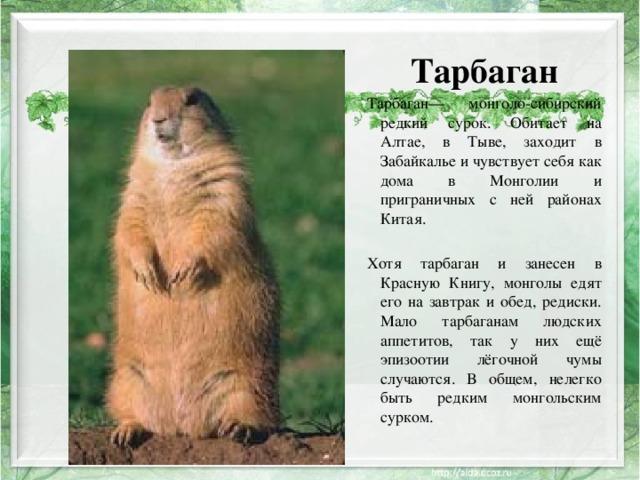 Тарбаган Тарбаган— монголо-сибирский редкий сурок. Обитает на Алтае, в Тыве, заходит в Забайкалье и чувствует себя как дома в Монголии и приграничных с ней районах Китая. Хотя тарбаган и занесен в Красную Книгу, монголы едят его на завтрак и обед, редиски. Мало тарбаганам людских аппетитов, так у них ещё эпизоотии лёгочной чумы случаются. В общем, нелегко быть редким монгольским сурком.