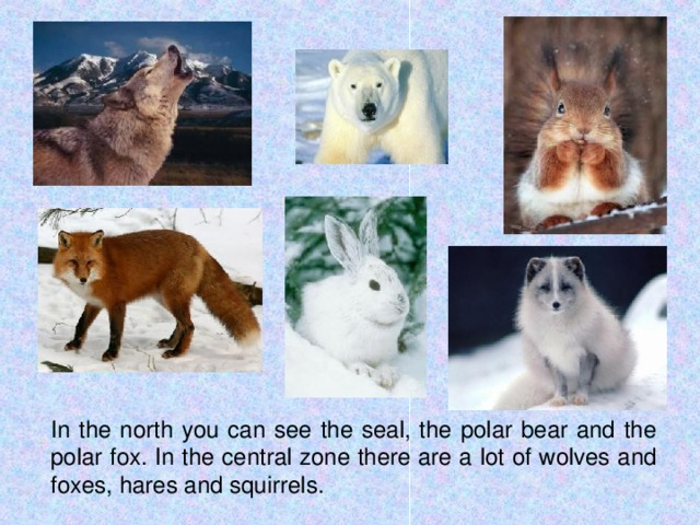 In the north you can see the seal, the polar bear and the polar fox. In the central zone there are a lot of wolves and foxes, hares and squirrels.