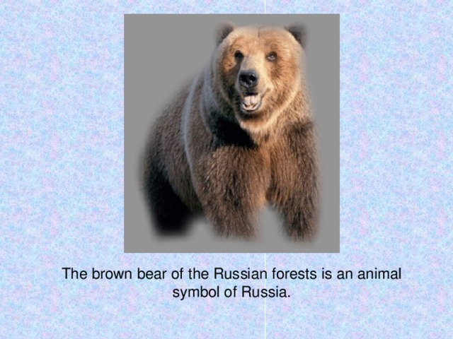 The brown bear of the Russian forests is an animal symbol of Russia.