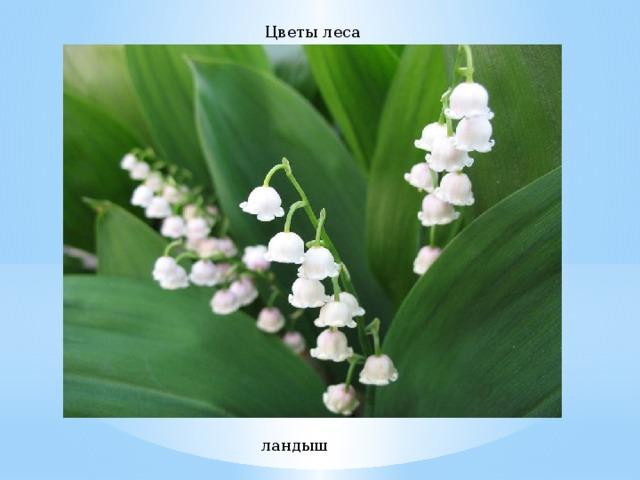Цветы леса ландыш