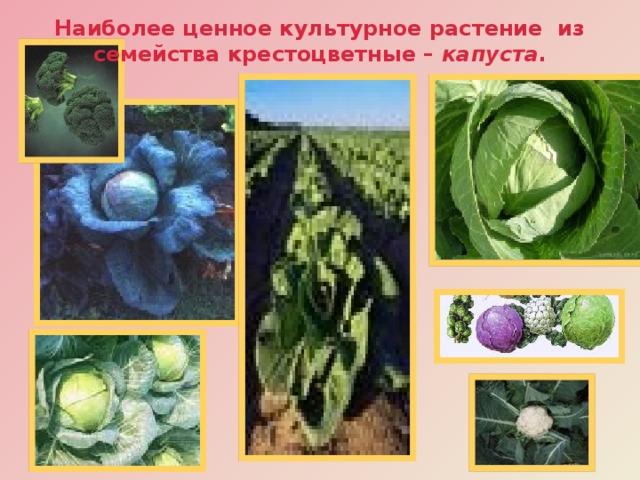 Наиболее ценное культурное растение из семейства крестоцветные – капуста . Наши предки - славяне первыми изобрели способ заквашивания капусты.  Кочанная капуста обладает высокой питательной ценностью, содержит 1,6% белка, 4% углеводов, богата клетчаткой (0,8%), минеральными солями и витаминами, в том числе и язвозаживляющим витамином . По сравнению с другими капустами она имеет повышенное содержание витамина К.  У краснокочанной капусты листья окрашены в фиолетово-красный цвет. В этой капусте в 4 раза больше витамина А, чем у белокочанной.  Все разновидности капусты влаголюбивы и требовательны к плодородию почв.