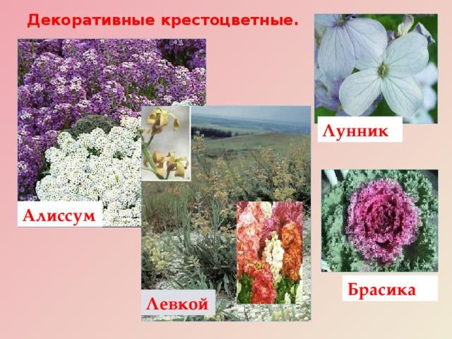 Декоративные крестоцветные. Лунник Алиссум Декоративны е растения семейства: левкой, алиссум, брасика, лунник , лакфиоль, вечерница . Брасика Левкой