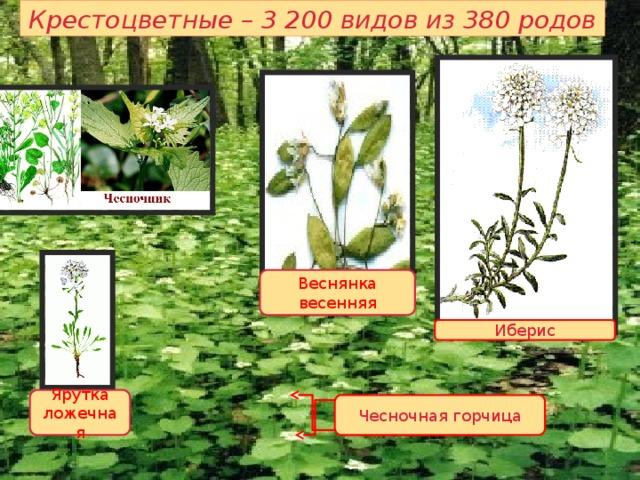 Крестоцветные – 3 200 видов из 380 родов Веснянка весенняя В семействе крестоцветных преобладают травы - однолетние и многолетние, но есть и полукустарники. Кустарники представлены единичными африканскими видами. Крестоцветные растения сконцентрированы в умеренной зоне северного полушария. В высокогорьях крестоцветные достигают распространения 4500-5700м, являясь пионерами растительности в соседстве с лишайниками. Иберис Ярутка ложечная Чесночная горчица