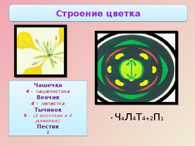 Строение цветка Чашечка 4 - чашелистика Венчик 4 - лепестка Тычинок 6 - (2 короткие и 4 длинные) Пестик 1 Цветки крестоцветных лишены прицветников, не крупные, зачастую очень мелкие, невзрачные. Чашелистики у крестоцветных расположены по 2 в два круга, у основания они бывают мешковидными для хранения нектара. Лепестков также 4, они не сросшиеся, расположены крестообразно откуда и произошло название крестоцветных. В окраске лепестков преобладают желтый и белый цвета, но встречаются также фиолетовые и розоватые, в плоть до пурпурных оттенков. Тычинок 6, расположены в два круга. Из них 2 боковые, по наружному кругу, короткие, а 4- срединные, более длинные. * Ч 4 л 4 Т 4+2 П 1
