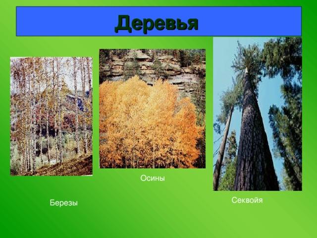 Деревья  Осины  Секвойя Березы
