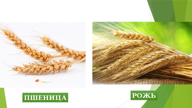 рожь и пшеница фото различия давайте сделаем широкий