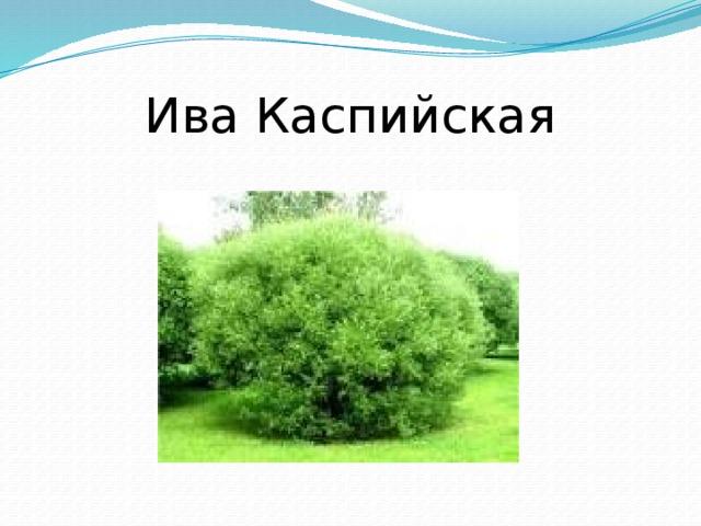Ива Каспийская