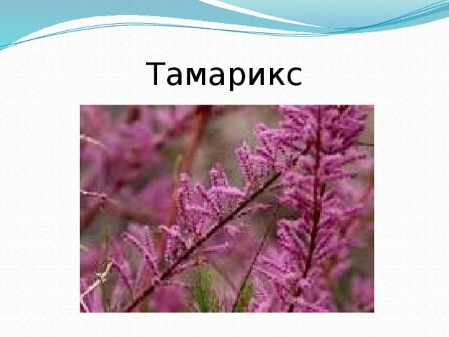 Тамарикс