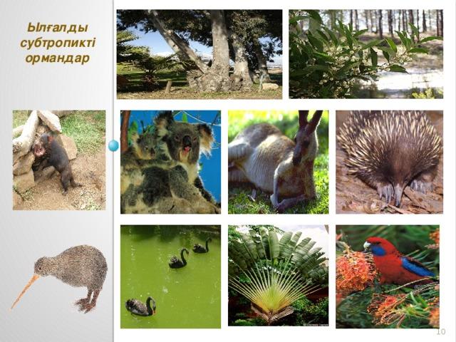 Ылғалды субтропикті ормандар коала