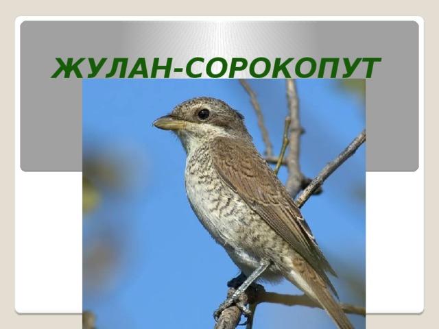 Жулан-сорокопут