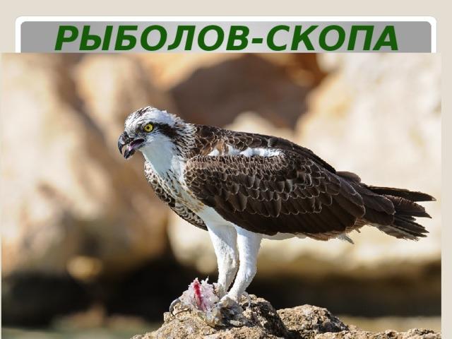 Рыболов-скопа