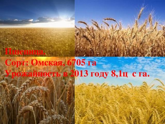 Пшеница. Сорт: Омская, 6705 га Урожайность в 2013 году 8,1ц с га.