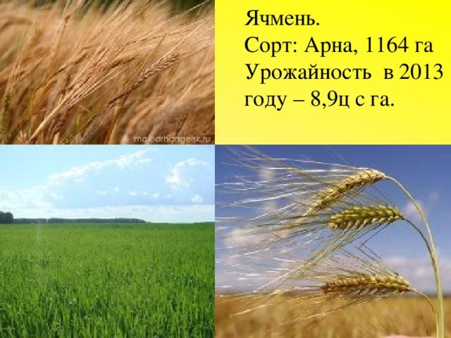 Ячмень. Сорт: Арна, 1164 га Урожайность в 2013 году – 8,9ц с га.