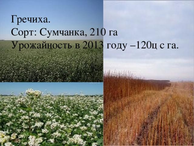 Гречиха. Сорт: Сумчанка, 210 га Урожайность в 2013 году –120ц с га.