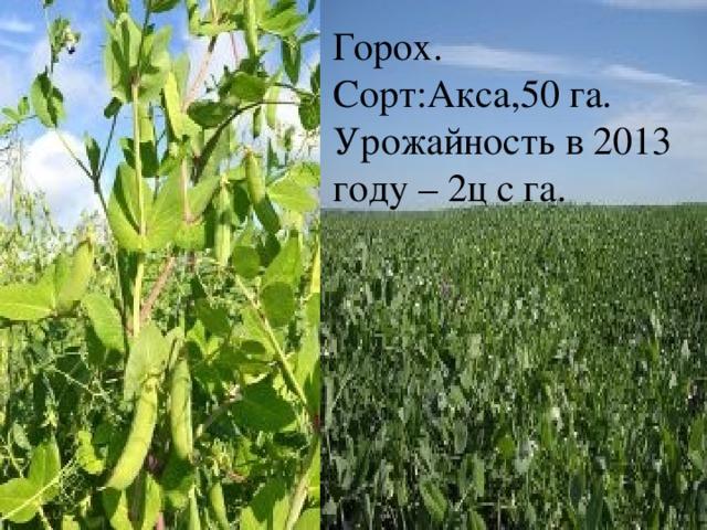 Горох. Сорт:Акса,50 га. Урожайность в 2013 году – 2ц с га.