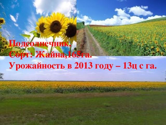 Подсолнечник. Сорт: Жайна,165га. Урожайность в 2013 году – 13ц с га.