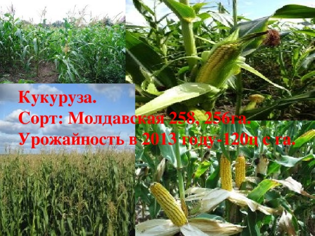 Кукуруза. Сорт: Молдавская 258, 256га. Урожайность в 2013 году-120ц с га.