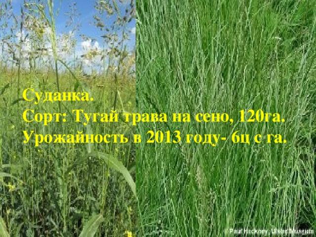 Суданка. Сорт: Тугай трава на сено, 120га. Урожайность в 2013 году- 6ц с га.