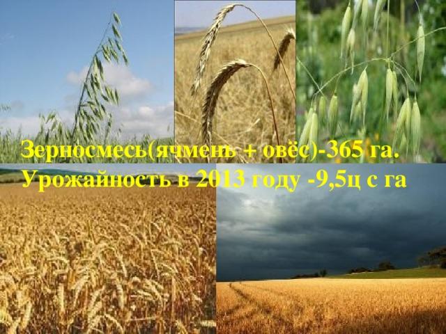 Зерносмесь(ячмень + овёс)-365 га. Урожайность в 2013 году -9,5ц с га
