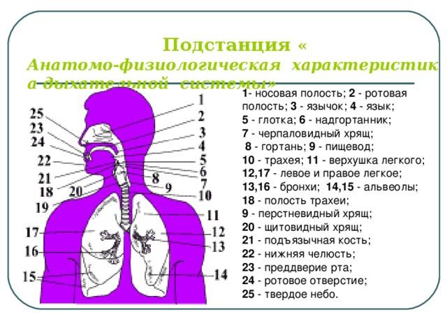 Подстанция  « Анатомо-физиологическая  характеристика дыхательной  системы» 1 - носовая полость; 2 - ротовая полость; 3 - язычок; 4 - язык; 5 - глотка; 6 - надгортанник; 7 - черпаловидный хрящ;  8 - гортань; 9 - пищевод; 10 - трахея; 11 - верхушка легкого; 12,17 - левое и правое легкое; 13,16 - бронхи; 14,15 - альвеолы; 18 - полость трахеи;  9 - перстневидный хрящ; 20 - щитовидный хрящ; 21 - подъязычная кость; 22 - нижняя челюсть; 23 - преддверие рта; 24 - ротовое отверстие; 25 - твердое небо.