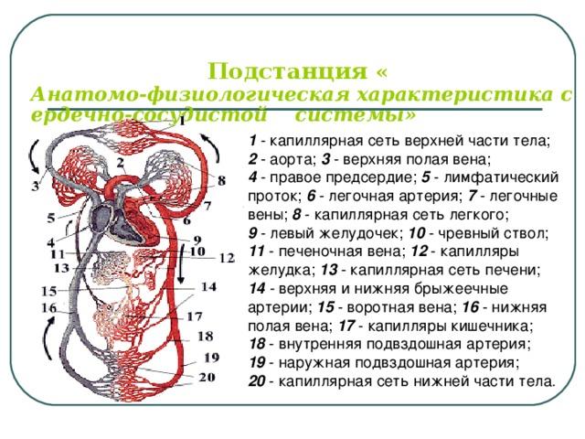 Подстанция « Анатомо-физиологическая характеристика сердечно-сосудистой    системы» 1  - капиллярная сеть верхней части тела; 2 - аорта; 3 - верхняя полая вена; 4 - правое предсердие; 5 - лимфатический проток; 6 - легочная артерия; 7  - легочные вены; 8 - капиллярная сеть легкого; 9 - левый желудочек; 10 - чревный ствол; 11 - печеночная вена; 12 - капилляры желудка; 13 - капиллярная сеть печени; 14 - верхняя и нижняя брыжеечные артерии; 15 - воротная вена; 16 - нижняя полая вена; 17 - капилляры кишечника; 18 - внутренняя подвздошная артерия; 19 - наружная подвздошная артерия; 20 - капиллярная сеть нижней части тела.