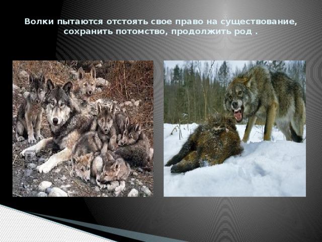 Волки пытаются отстоять свое право на существование, сохранить потомство, продолжить род .