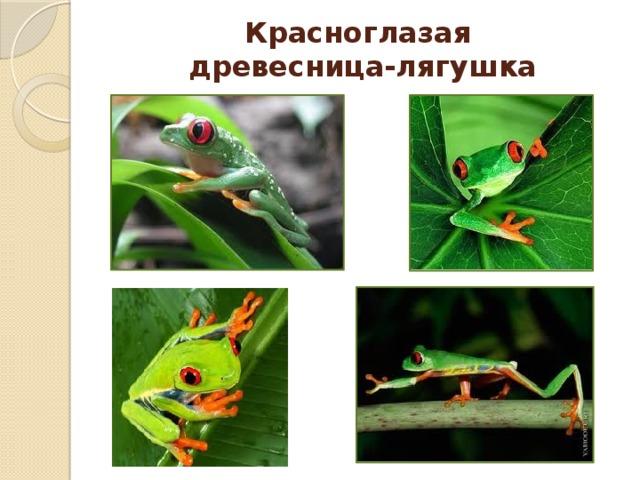 Красноглазая  древесница-лягушка
