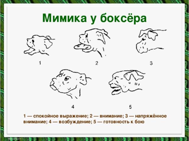 Мимика у боксёра 1 — спокойное выражение; 2 — внимание; 3 — напряжённое внимание; 4 — возбуждение; 5 — готовность к бою