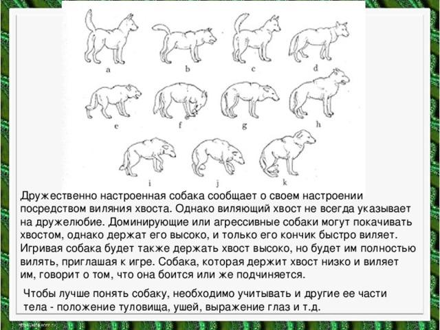 Дружественно настроенная собака сообщает о своем настроении посредством виляния хвоста. Однако виляющий хвост не всегда указывает на дружелюбие. Доминирующие или агрессивные собаки могут покачивать хвостом, однако держат его высоко, и только его кончик быстро виляет. Игривая собака будет также держать хвост высоко, но будет им полностью вилять, приглашая к игре. Собака, которая держит хвост низко и виляет им, говорит о том, что она боится или же подчиняется. Чтобы лучше понять собаку, необходимо учитывать и другие ее части тела - положение туловища, ушей, выражение глаз и т.д.