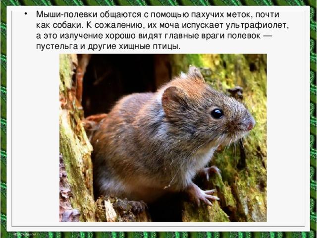 Мыши-полевки общаются с помощью пахучих меток, почти как собаки. К сожалению, их моча испускает ультрафиолет, а это излучение хорошо видят главные враги полевок — пустельга и другие хищные птицы.