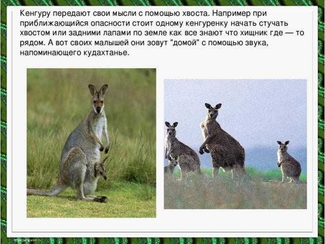 Кенгуру передают свои мысли с помощью хвоста. Например при приближающийся опасности стоит одному кенгуренку начать стучать хвостом или задними лапами по земле как все знают что хищник где — то рядом. А вот своих малышей они зовут