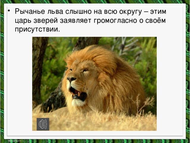 Рычанье льва слышно на всю округу – этим царь зверей заявляет громогласно о своём присутствии.