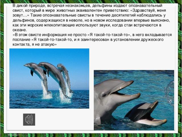 В дикой природе, встречая незнакомцев, дельфины издают опознавательный свист, который в мире животных эквивалентен приветствию: «Здравствуй, меня зовут…» Такие опознавательные свисты в течение десятилетий наблюдались у дельфинов, содержащихся в неволе, но в новом исследовании впервые выяснено, как эти морские млекопитающие используют звуки, когда стаи встречаются в океане.  «В этом свисте информация не просто «Я такой-то-такой-то», в него вкладывается послание «Я такой-то-такой-то, и я заинтересован в установлении дружеского контакта, я не атакую»