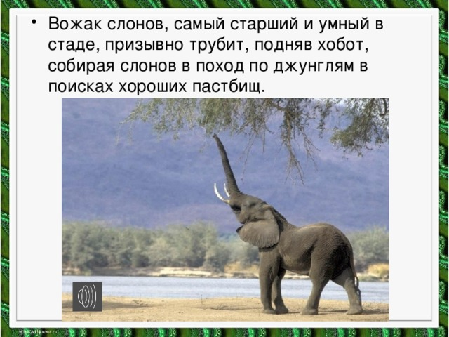 Вожак слонов, самый старший и умный в стаде, призывно трубит, подняв хобот, собирая слонов в поход по джунглям в поисках хороших пастбищ.