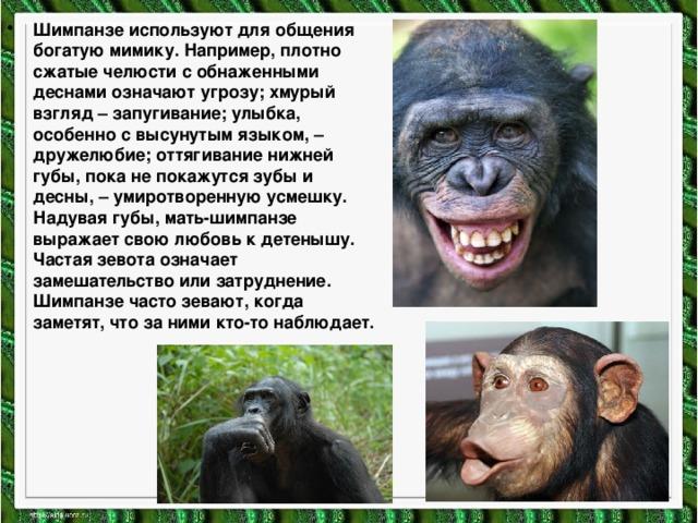 Шимпанзе используют для общения богатую мимику. Например, плотно сжатые челюсти с обнаженными деснами означают угрозу; хмурый взгляд – запугивание; улыбка, особенно с высунутым языком, – дружелюбие; оттягивание нижней губы, пока не покажутся зубы и десны, – умиротворенную усмешку. Надувая губы, мать-шимпанзе выражает свою любовь к детенышу. Частая зевота означает замешательство или затруднение. Шимпанзе часто зевают, когда заметят, что за ними кто-то наблюдает.