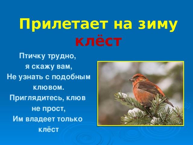 Прилетает на зиму клёст Птичку трудно, я скажу вам, Не узнать с подобным клювом. Приглядитесь, клюв не прост, Им владеет только клёст