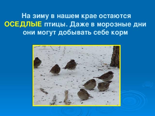 На зиму в нашем крае остаются ОСЕДЛЫЕ птицы. Даже в морозные дни они могут добывать себе корм