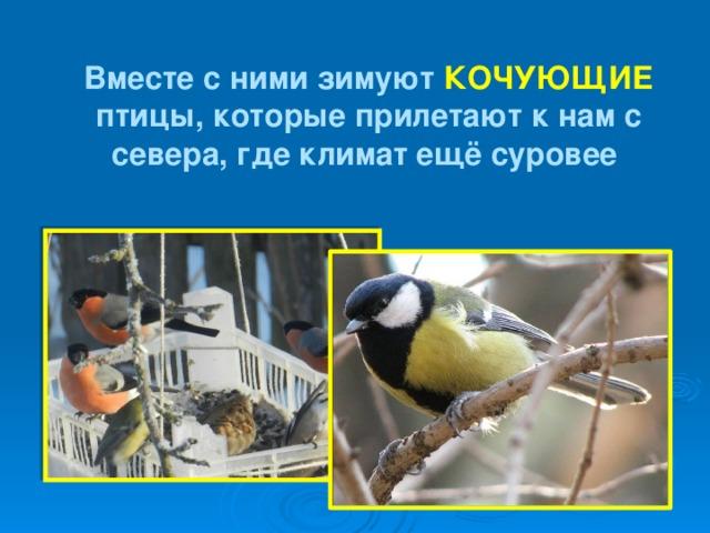 Вместе с ними зимуют КОЧУЮЩИЕ птицы, которые прилетают к нам с севера, где климат ещё суровее