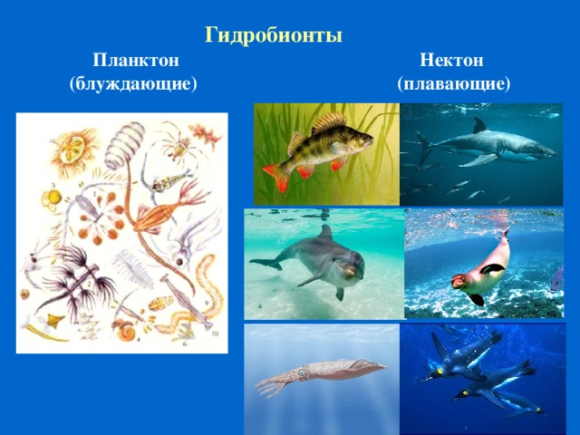 Гидробионты Планктон (блуждающие) Нектон (плавающие)