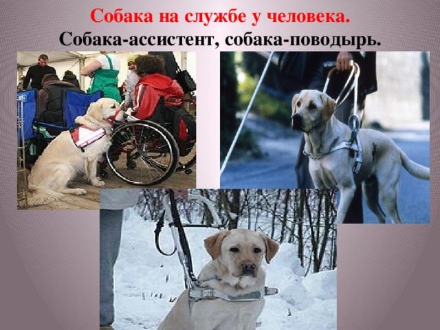 Собака на службе у человека. Собака-ассистент, собака-поводырь.