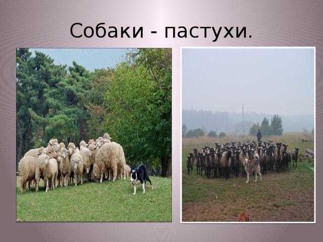 Собаки - пастухи.