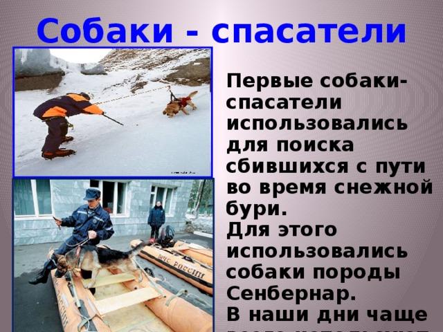 Собаки - спасатели Первые собаки-спасатели использовались для поиска сбившихся с пути во время снежной бури. Для этого использовались собаки породы Сенбернар. В наши дни чаще всего используют немецкую овчарку.