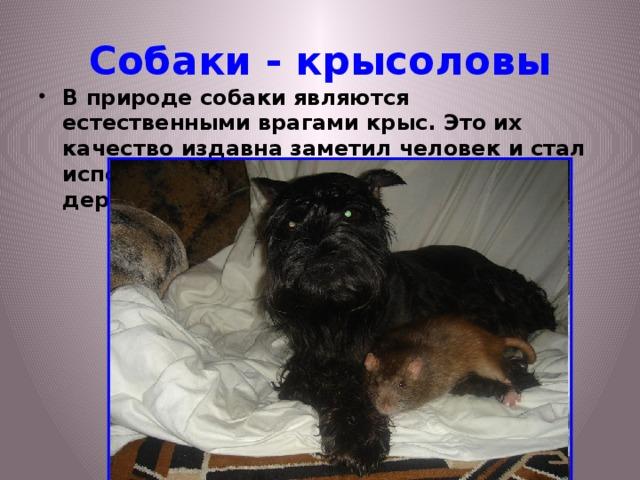 Собаки - крысоловы
