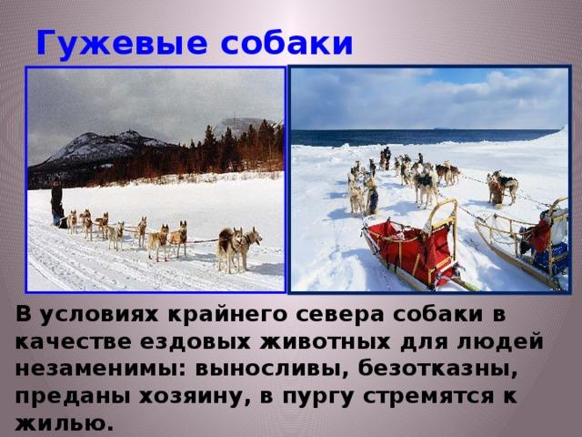 Гужевые собаки В условиях крайнего севера собаки в качестве ездовых животных для людей незаменимы: выносливы, безотказны, преданы хозяину, в пургу стремятся к жилью.