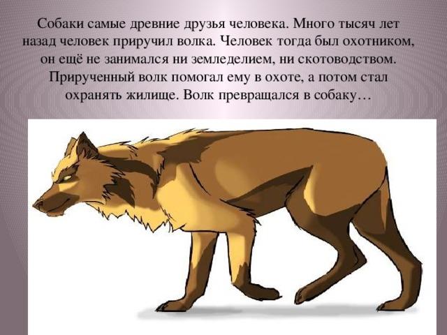Собаки самые древние друзья человека. Много тысяч лет назад человек приручил волка. Человек тогда был охотником, он ещё не занимался ни земледелием, ни скотоводством. Прирученный волк помогал ему в охоте, а потом стал охранять жилище. Волк превращался в собаку…