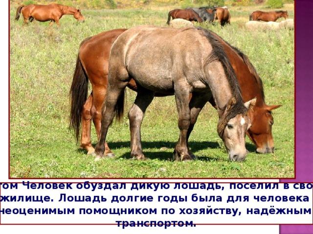 Потом Человек обуздал дикую лошадь, поселил в своём жилище. Лошадь долгие годы была для человека неоценимым помощником по хозяйству, надёжным транспортом.