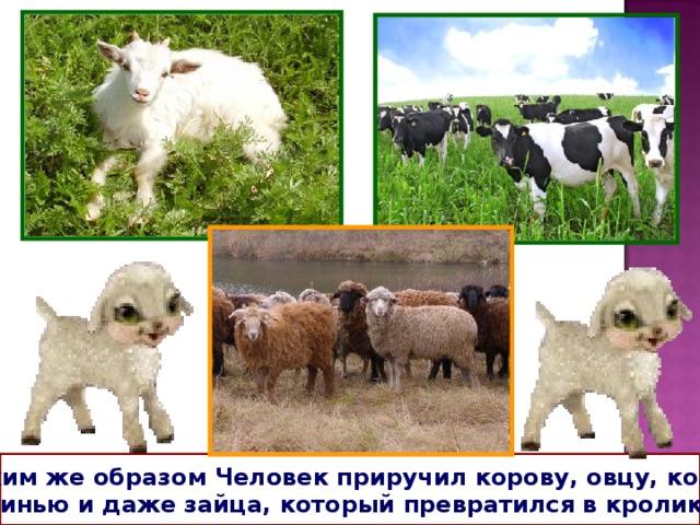 Таким же образом Человек приручил корову, овцу, козу, свинью и даже зайца, который превратился в кролика.