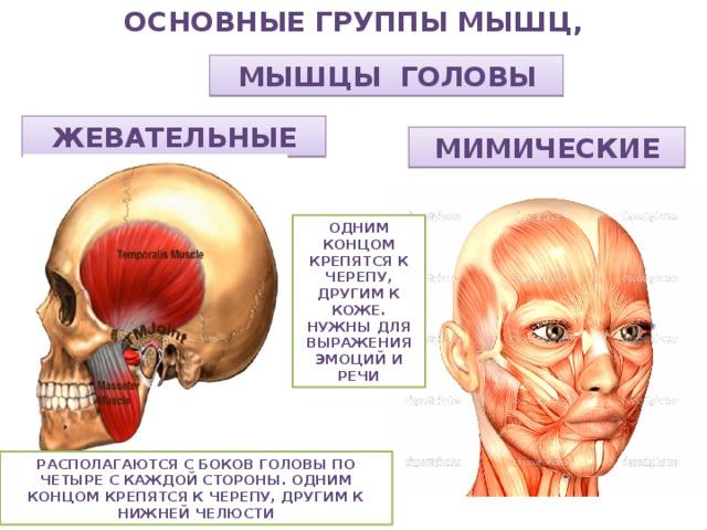 механизма картинки мимических и жевательных мышц консоль начинается